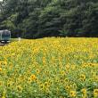 向日葵畑を行く