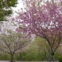 東山動植物園の御衣黄(ぎょいこう)と八重桜