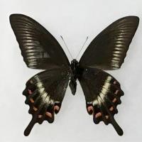 黒色鱗粉が大きく透けているミヤマカラスアゲハ