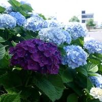 紫陽花真っ盛り