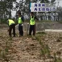 津波被害のクロマツ植樹・宮城県名取市 2015年05月