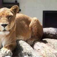 春樹とライオン――女子飼育員殺し