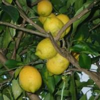 庭のレモンとミカン