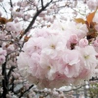 八重桜もいいね