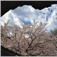 「長 純 寺」 の 桜   (1の1)    ★ 2017.04.23 ★