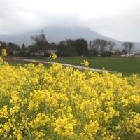 菜の花畑からの筑波山