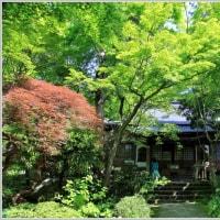 覚園寺の青モミジ