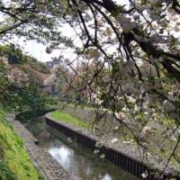 「八重桜」