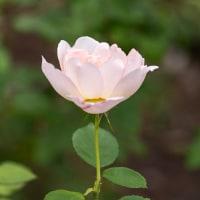 とっとり花回廊のバラを楽しむ