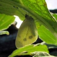 青梗菜の葉に紋白蝶
