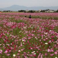 美しいコスモス風景・羽島市市之枝へ