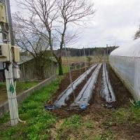 スナップエンドウの定植開始