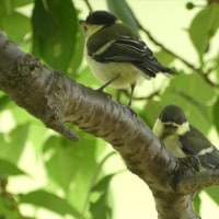 シジュウカラ 幼鳥