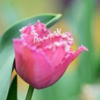フリンジ咲きチューリップ イメーナ。