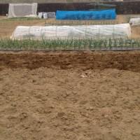 農園作業を少しやる。関根農場でジャガイモの種芋を植え付ける。