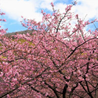桜まつり と 梅まつり