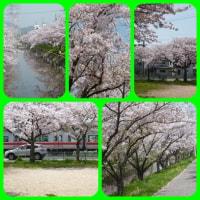 桜・さくら