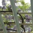 皐月の藤棚