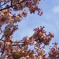 赤く見える桜