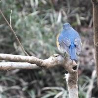 幸せを呼ぶ青い鳥