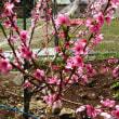 李に続いて桃の花が咲いた!