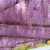 今朝(4月30日)の曼陀羅寺の藤は・・・