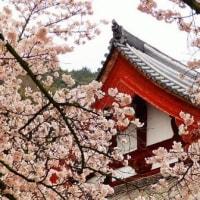 矢田寺・桜