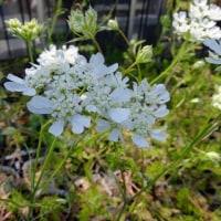園芸品種と帰化植物の境目