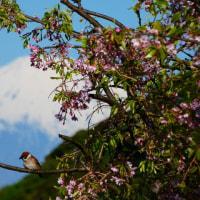 『花散歩』 枝垂れ桜