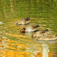 今治市の干潟にも冬鳥がやって来ています