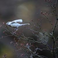 岡崎公園の白いシジュウカラ その90