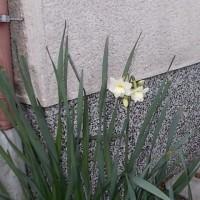 水仙が咲いた