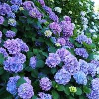 にしさんの花日記 紫陽花 伊豆下田 紫陽花公園