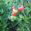 初ミニトマト