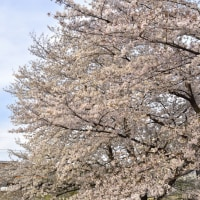4/10 桜と両毛線。