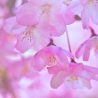 「花のぼんぼり」 いわき 高野花見山にて撮影! ハナカイドウ