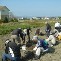 白寿会芋掘り