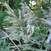 季節の花「葦 (あし、よし)」