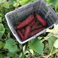 サツマイモ収穫未了