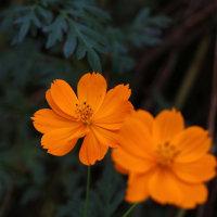 くりはま花の国 コスモス畑