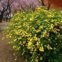 『サトザクラ(八重桜)』