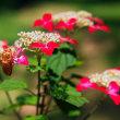額紫陽花と蝉時雨