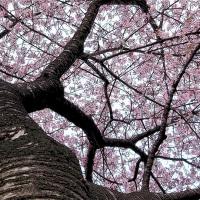万葉公園の河津桜 その2