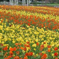 堺 緑のミュージアム  『ハーベストの丘』の花畑ゾーン   2016.10.27. Pm16:00頃