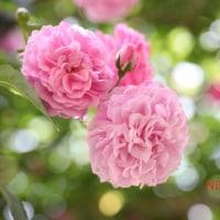 グリーンパークの薔薇5