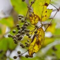 紅葉背景で実でもと散策…花を付けてるロウバイに!早いなぁ