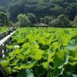 和歌山県植物公園緑花センターのハス