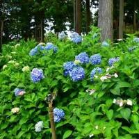 京都・三室戸寺の紫陽花・・・8