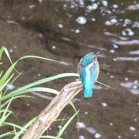 水辺で普通に観られるようになったカワセミ