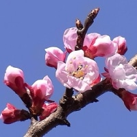 季節の花「杏子(あんず)」
